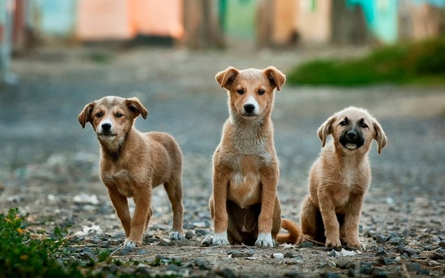 how to understand stray dogs: three yellow puppies on the street
