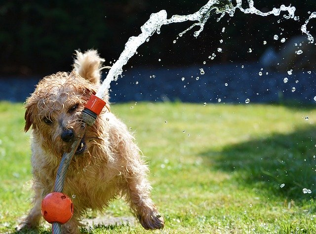 small dog syndrome: terrier dog playing with garden hose