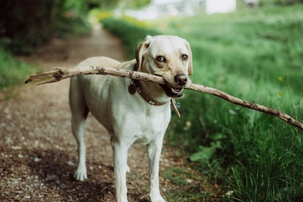 Dog EQ: white Labrador dog carrying a stick