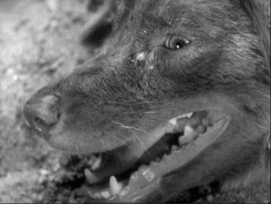screenshot-of-the-panting-dog-that-opens-akira-kurosawae28099s-1949-film-stray-dog-nora-inu-e9878ee889afe78aac-image-credit_-shibasenji