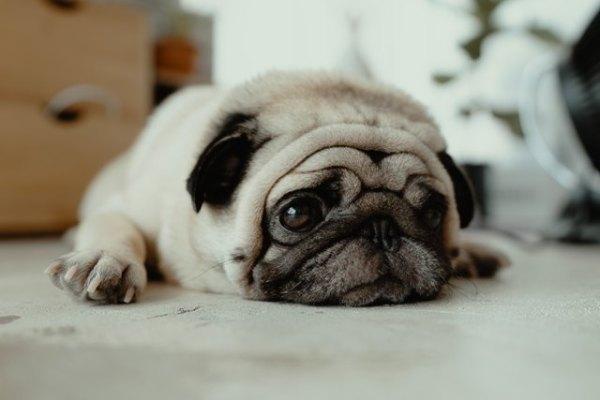 A Basset Named Isaac Chapter 15 - pug dog close up