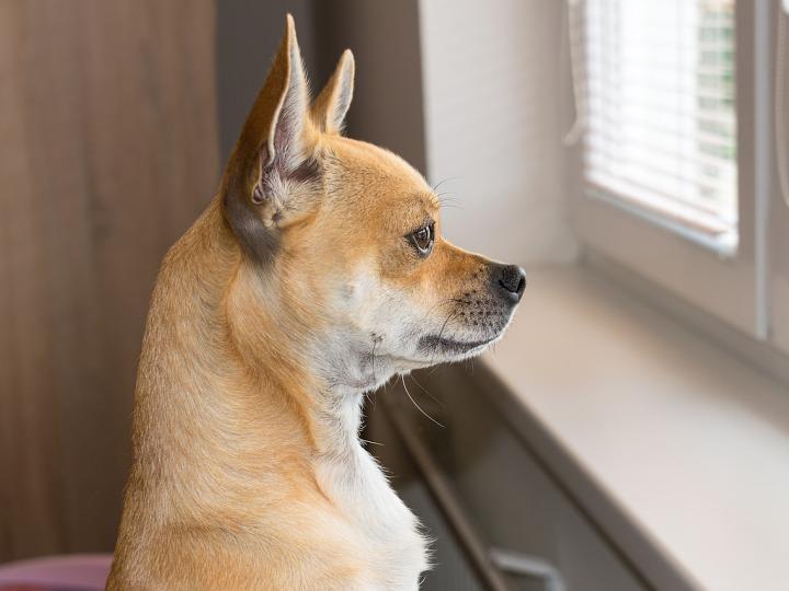 Chihuahua dog watching through a window -stayathome