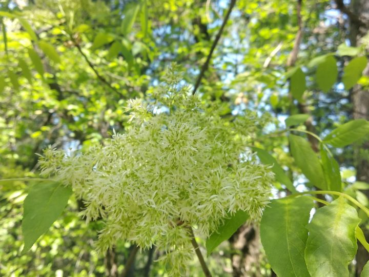 Elderflower tree