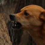 A basset named Isaac - angry dog