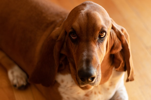 A basset looking at the camera